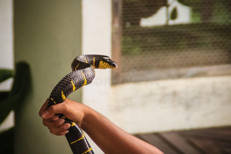 Un homme utilise la main nue pour attraper le serpent de dendrophila de Boiga, c photographie stock libre de droits