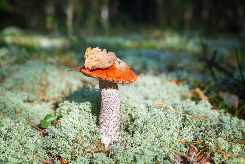 Un hongo comestible sobre musgo verde en el bosque cercano, boletus edulis, gorra marrón boletus, cep porcini hongo blanco con ho fotografía de archivo