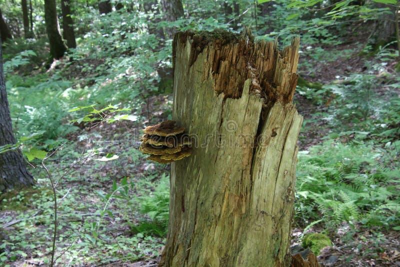 Un hongo que crece en un toc?n de ?rbol quebrado fotos de archivo