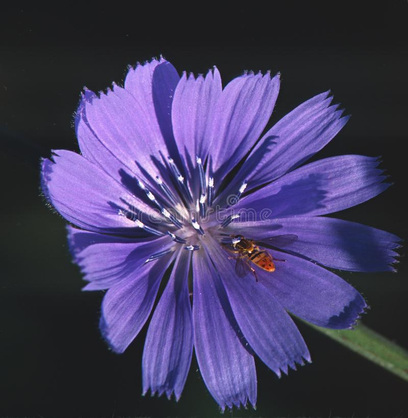 Un Hoverfly se repose sur une fleur de chicorée de bord de la route images stock