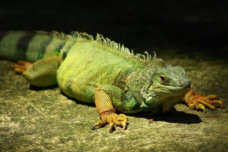 Un'iguana verde immagini stock libere da diritti