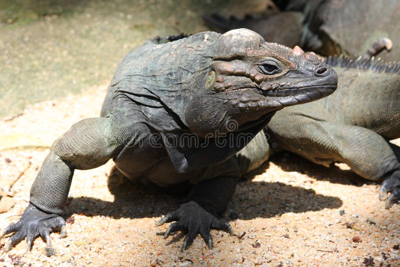 Un iguane laid photo libre de droits