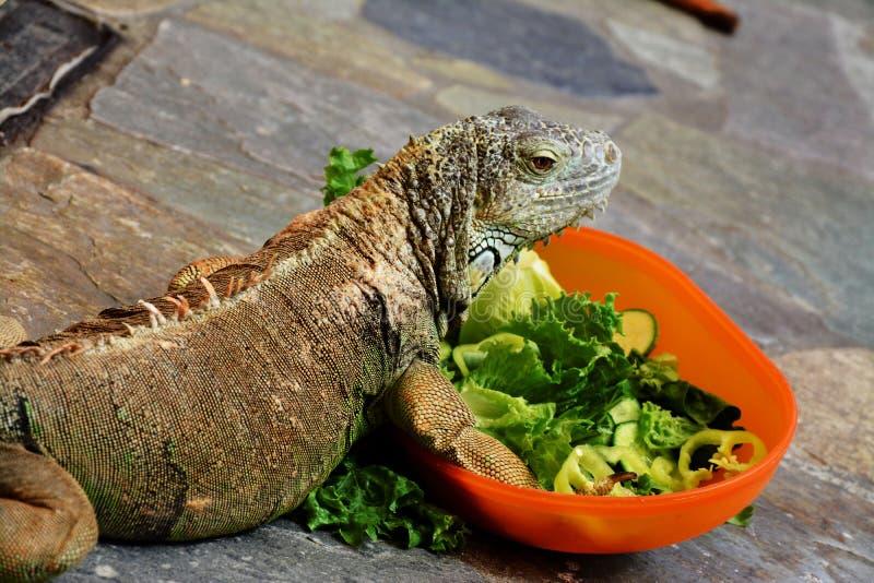 Un iguane mangeant d'une salade images libres de droits