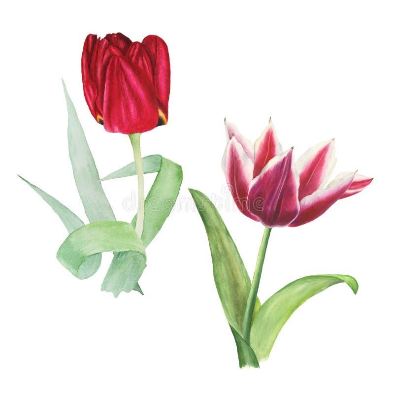 Un'illustrazione botanica dell'acquerello di due tulipani rossi con le foglie verdi isolate su fondo bianco illustrazione vettoriale