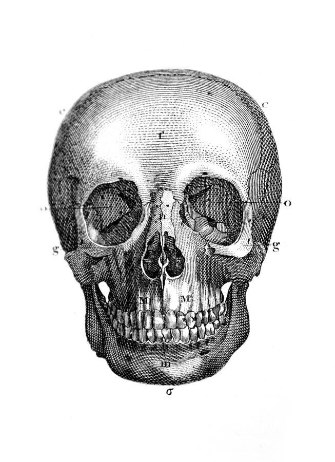 Un'illustrazione incisa del cranio da un libro d'annata Encycl fotografia stock libera da diritti
