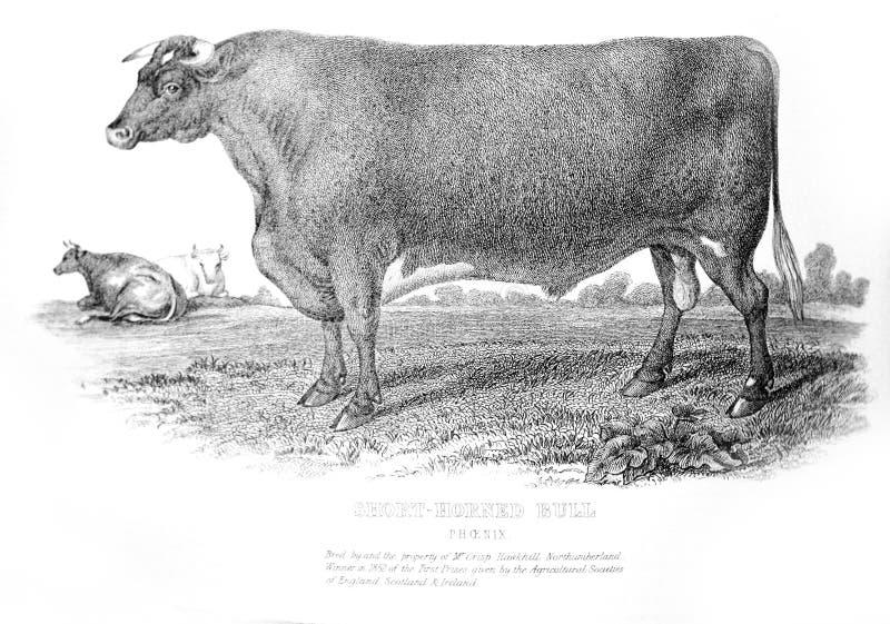 Un'illustrazione incisa di breve toro cornuto da un fischio d'annata fotografia stock