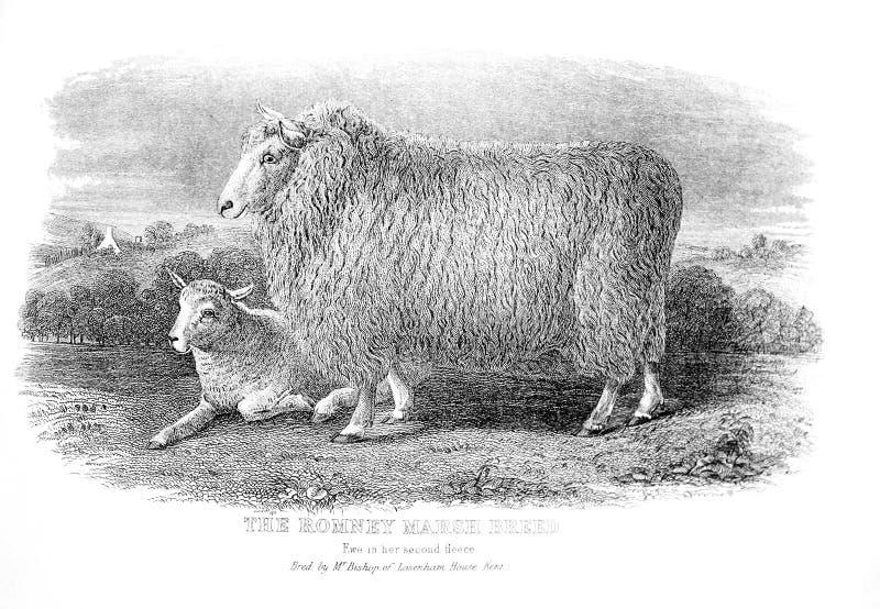 Un'illustrazione incisa di Romney Marsh Breed da un vintag fotografia stock libera da diritti