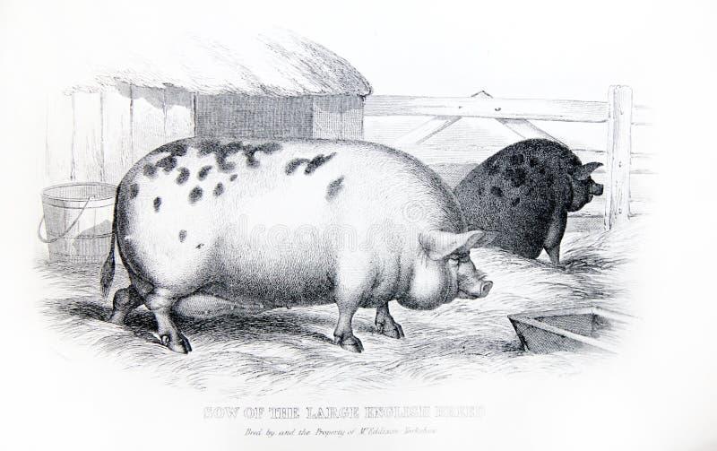 Un'illustrazione incisa razza inglese della scrofa di grande da una v fotografie stock