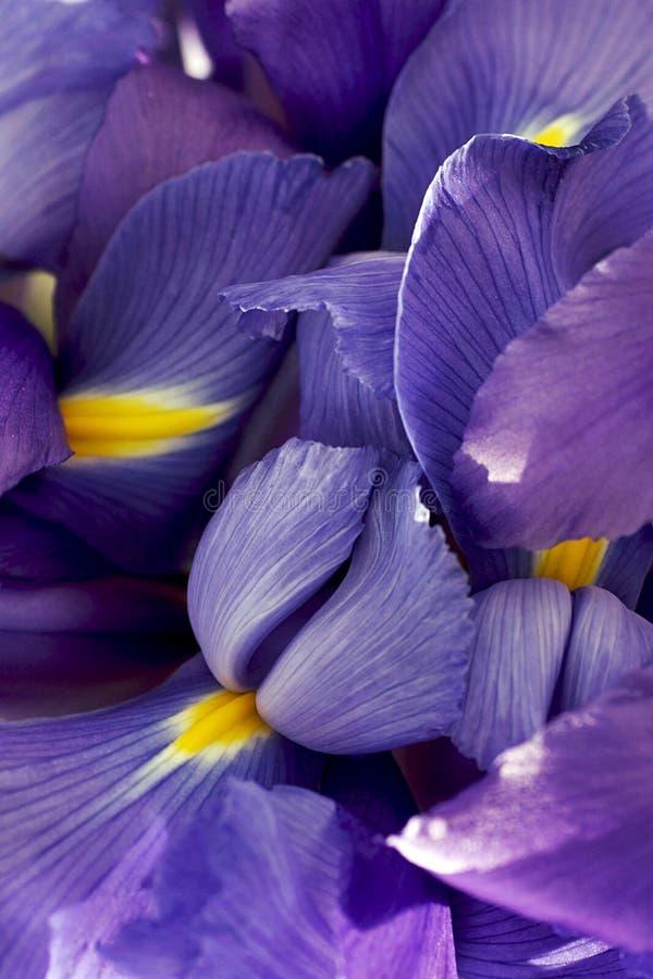 Estratto dei petali dell'iride fotografia stock