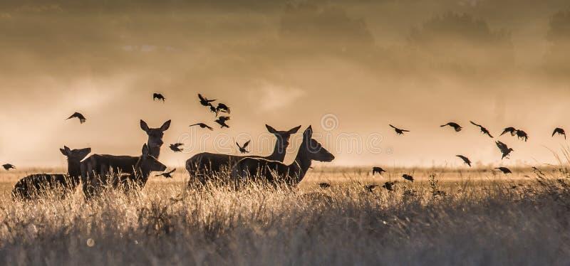 Un'immagine di alcuni cervi e gli uccelli di mattina si appannano immagine stock libera da diritti