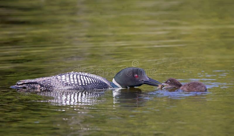 Un immer comune di Gavia del lunatico che alimenta il suo pulcino in Ontario, Canada fotografie stock