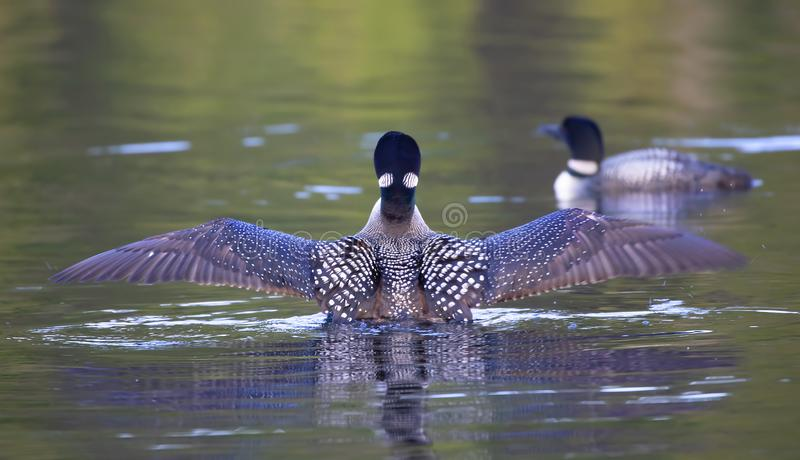 Un immer comune di Gavia del lunatico che viola l'acqua per asciugare le sue ali di mattina come nuota, Ontario, Canada fotografia stock libera da diritti