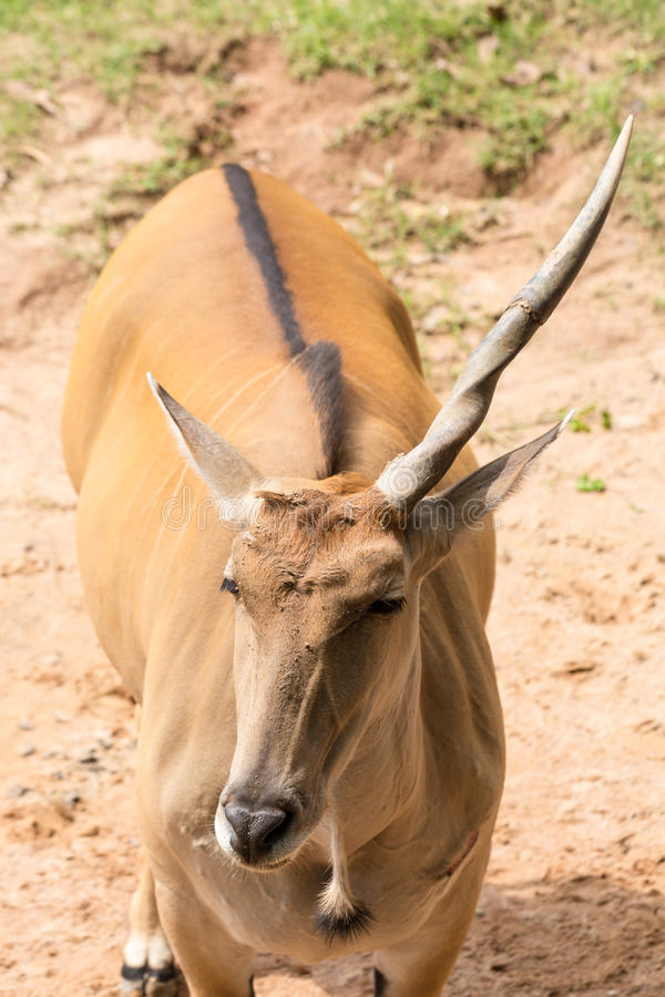 Un impala de klaxon image libre de droits