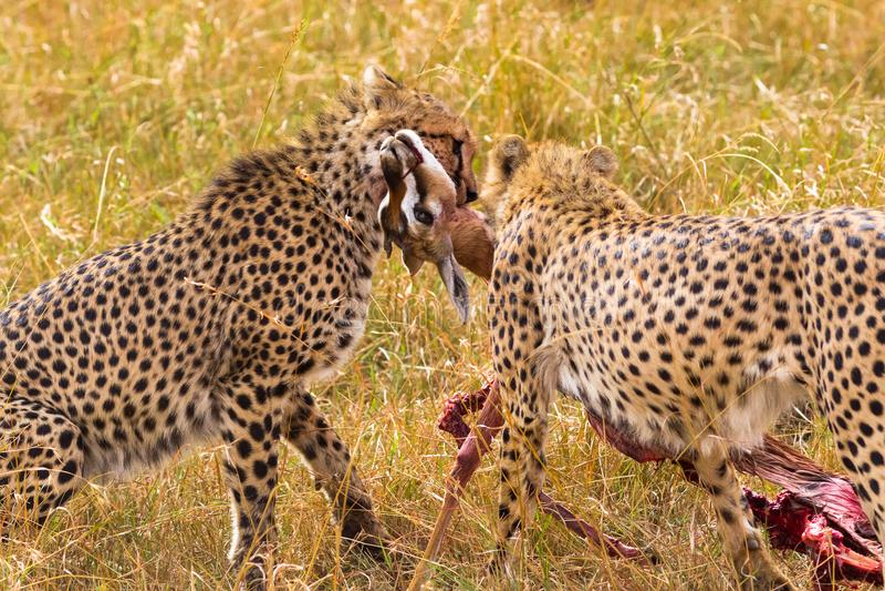 Un'impala presa ghepardo di due Africani Masai Mara Il Kenia, Africa fotografie stock