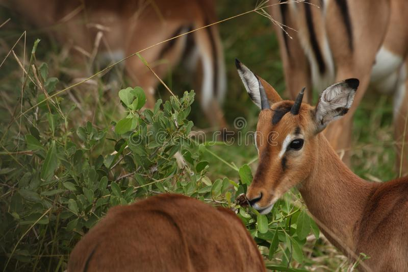 Un'impala prudente che guarda per il pericolo fotografie stock libere da diritti