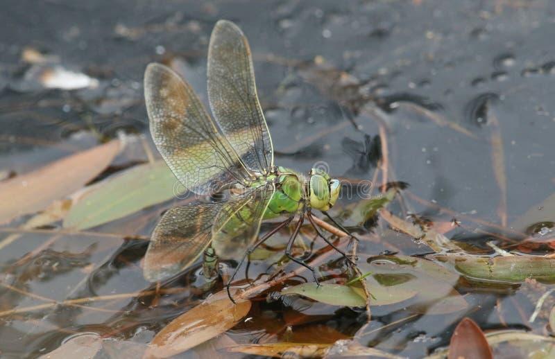 Un imperator renversant d'Anax de libellule d'empereur pondant ses oeufs dans un étang images stock