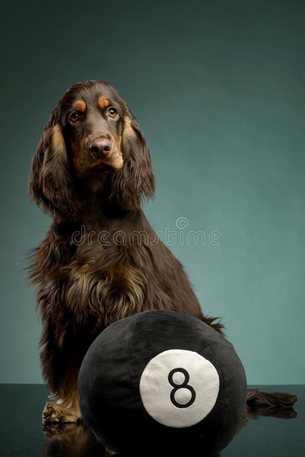 Un inglés adorable cocker spaniel que se sienta con una bola imagen de archivo libre de regalías