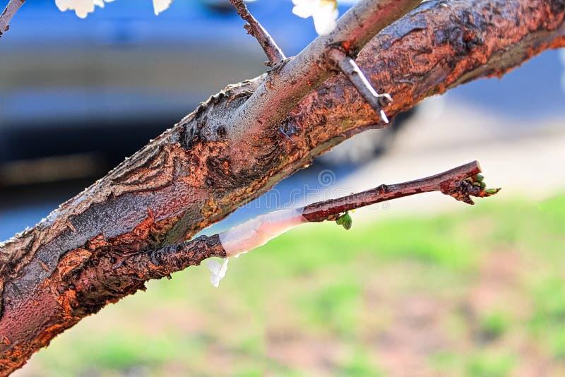 Un injerto grabado en un árbol que comienza a florecer imágenes de archivo libres de regalías