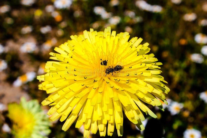 Un insecte au-dessus d'une belle fleur jaune photos stock