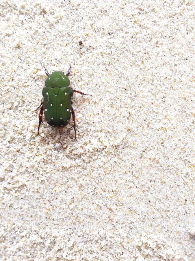 Un insecte vert photographie stock libre de droits