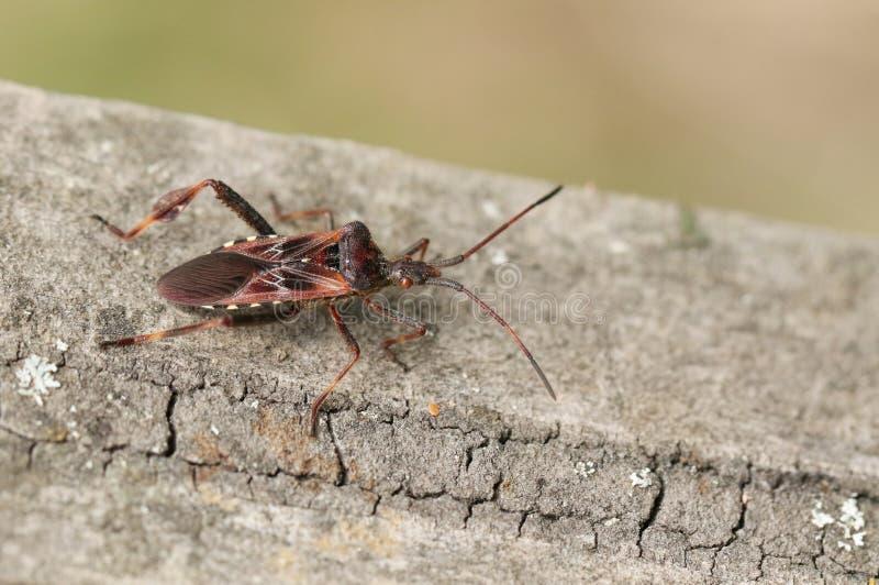 Un insecto bastante occidental de la semilla de la conífera, occidentalis del Leptoglossus, Coreidae, encaramándose en una cerca  fotos de archivo libres de regalías
