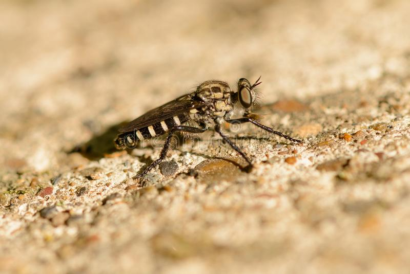 Un insecto como una mosca foto de archivo libre de regalías