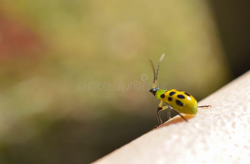 Un insecto minúsculo listo para llevar el vuelo y para conquistar el mundo foto de archivo