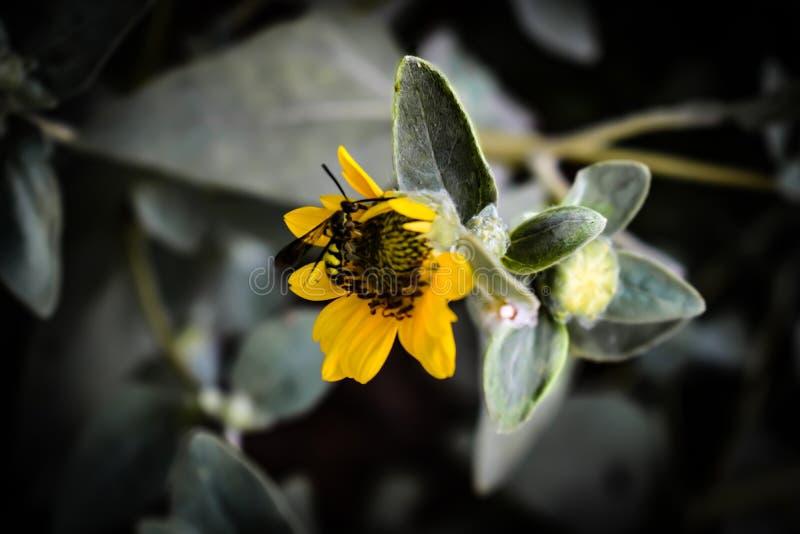 Un insecto que se sienta en el girasol el retrato de la flor amarilla, es también un papel pintado imagenes de archivo