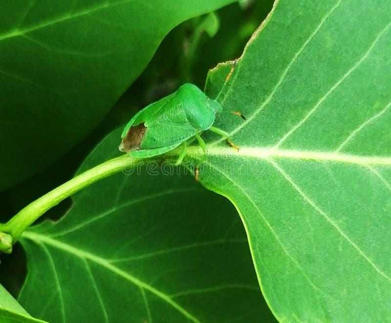 Un insecto verde camuflado imagenes de archivo