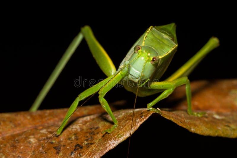 Un insecto verde que mira la cámara foto de archivo