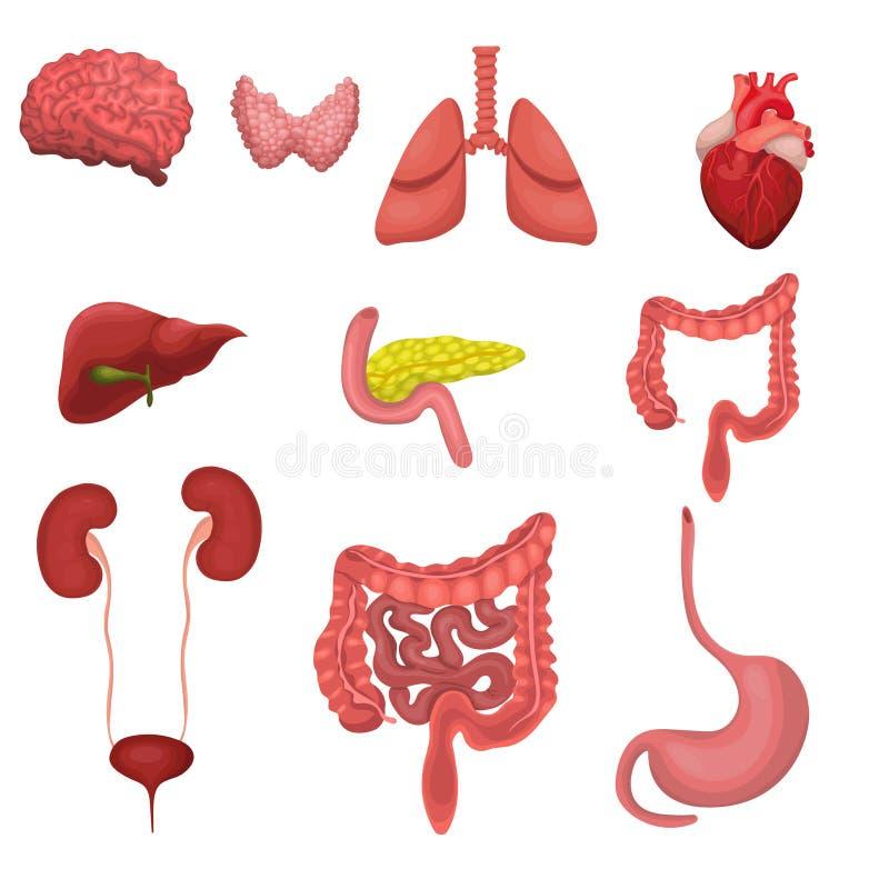 Un insieme degli organi umani Immagine di vettore isolata su fondo bianco illustrazione vettoriale