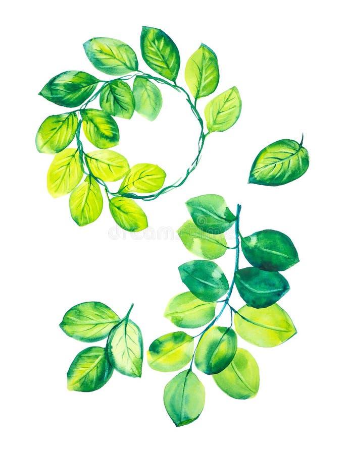 Un insieme dei rami con le foglie verdi, le foglie verdi e una corona delle foglie dell'eucalyptus Illustrazione dell'acquerello  illustrazione di stock