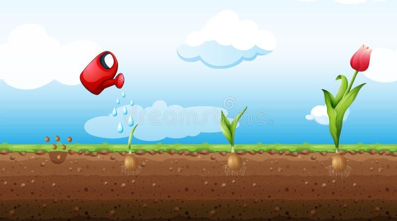 Un insieme di Tulip Growth Stage illustrazione di stock