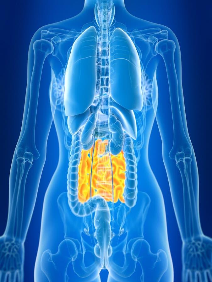 Un intestin grêle de femelles illustration libre de droits
