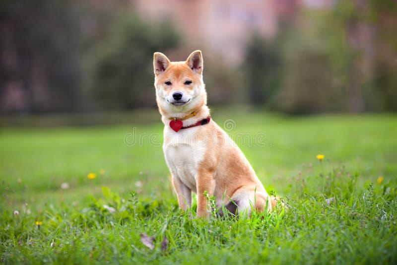 Un inu joven del shiba se sienta en el parque fotografía de archivo libre de regalías
