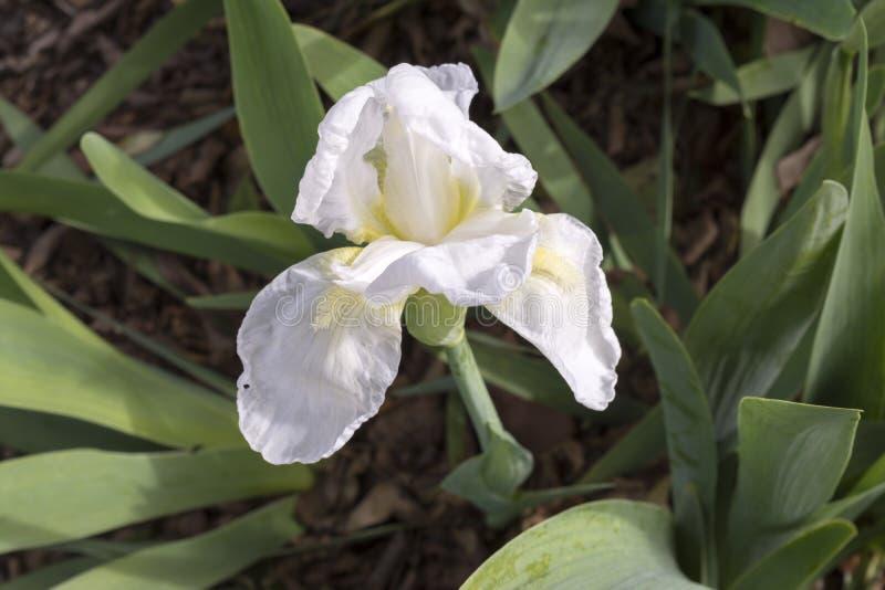 Un iris blanc avec de barbe le voyageur fréquent jaune probablement image stock