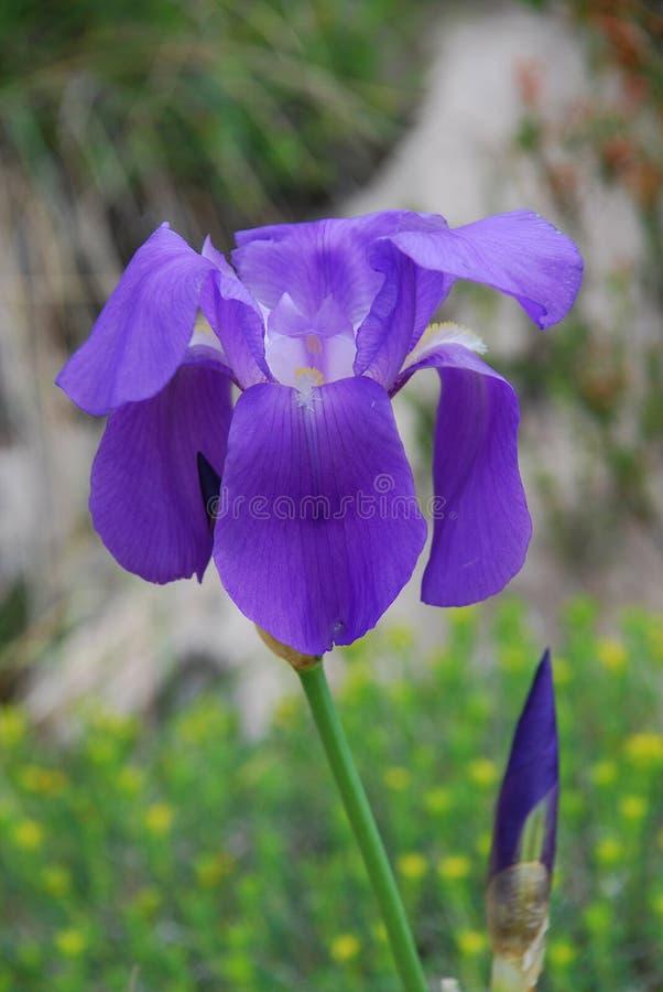 Iris salvaje, Croacia fotos de archivo libres de regalías