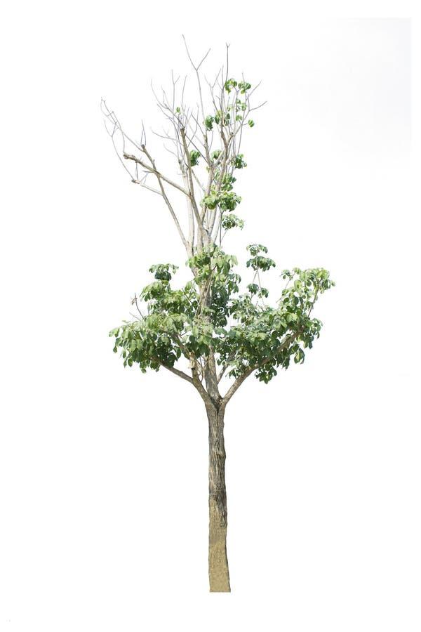 Un isolat d'usine d'arbre sur le fond blanc photographie stock libre de droits