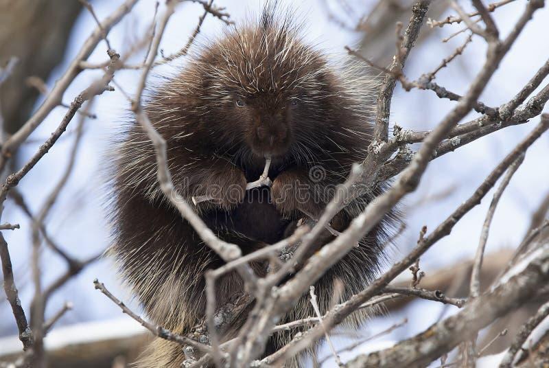 Un istrice che si siede in un albero che mangia i ramoscelli in primavera nel Canada immagini stock libere da diritti