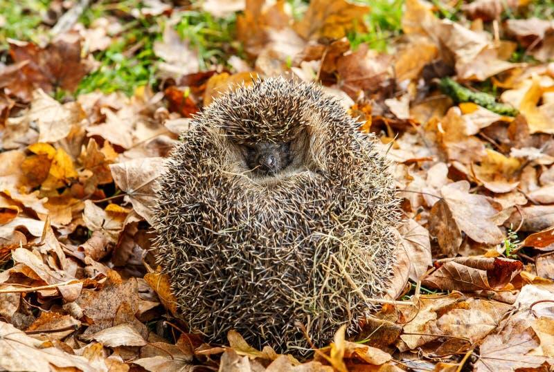 Un istrice europeo nella lettiera della foglia ha arricciato come palla fotografia stock