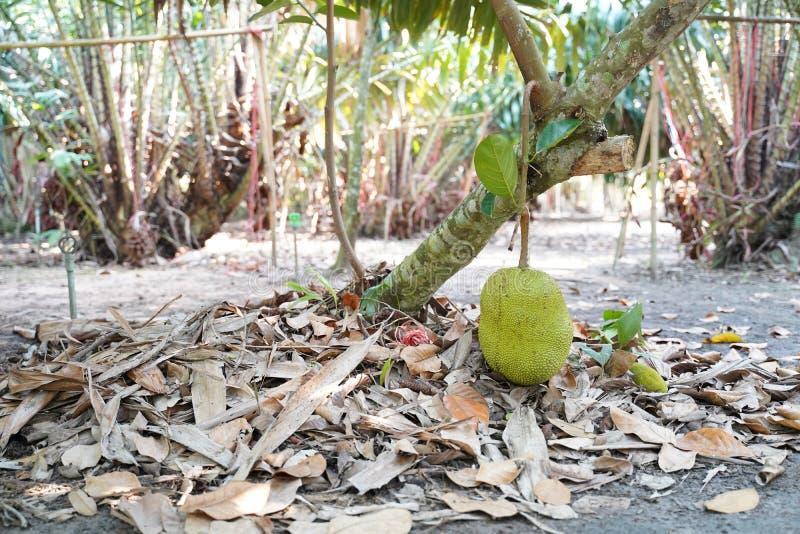 Un jackfruit fresco en el árbol en Tailandia también conocido como árbol de enchufe, fenne, jakfruit, o a veces simplemente el en imagenes de archivo