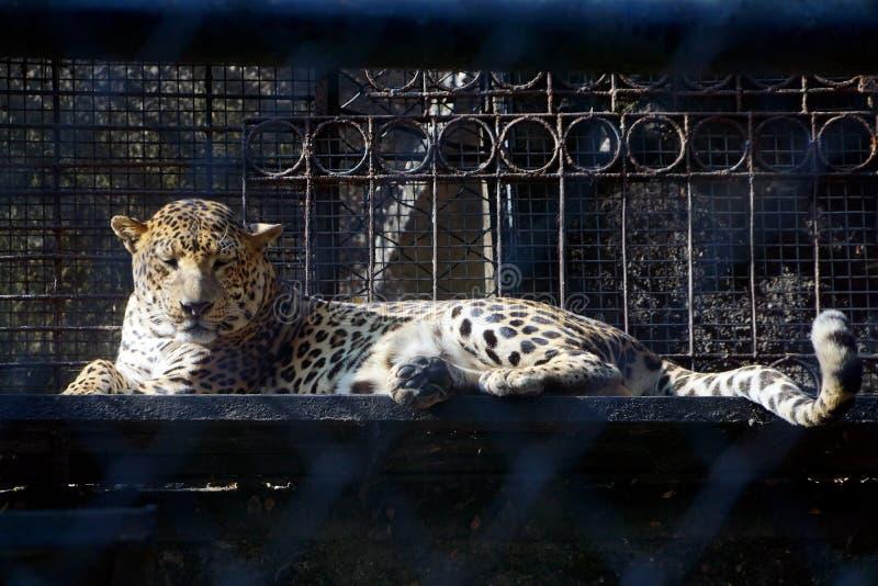 Un jaguar/un leopardo que toma resto en el parque zoológico imagen de archivo