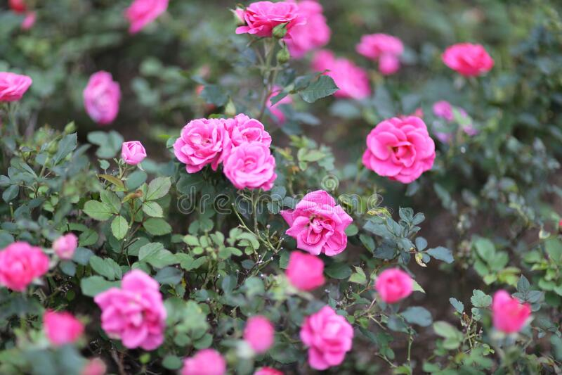 Un jardín de arbustos de rosas en el fondo fotografía de archivo libre de regalías