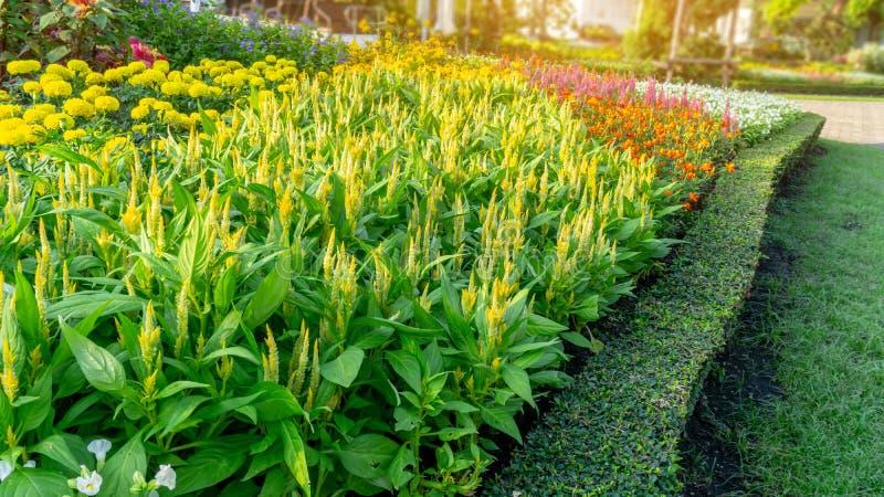 Un jardin de fleur jaune de laine, de souci jaune et de la floraison color?e dans une feuille verte de fronti?re philippine d'usi image stock