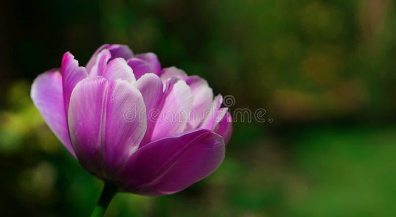 Un jardin pourpre lumineux de tulipe au printemps image stock