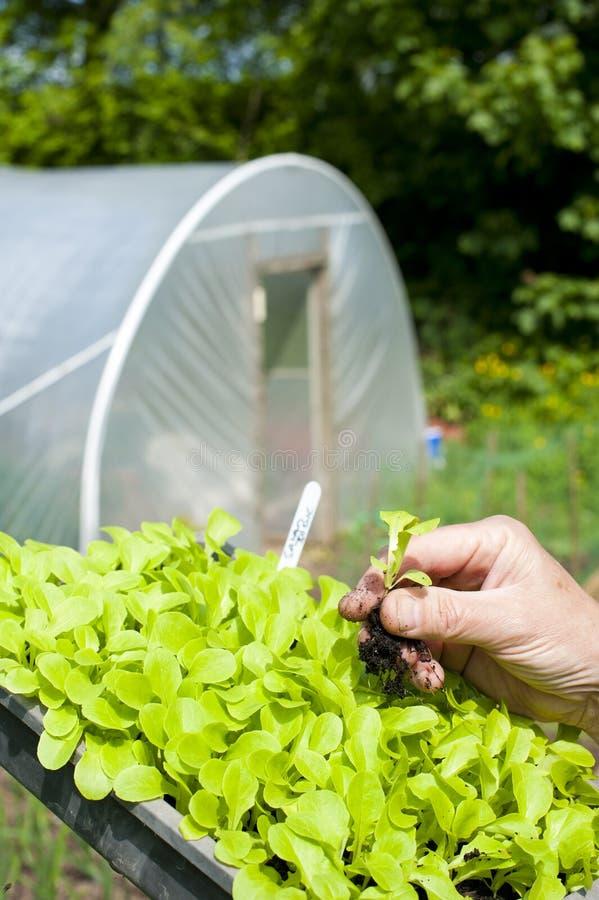 Un jardinero que agujerea una planta de la lechuga fotografía de archivo libre de regalías