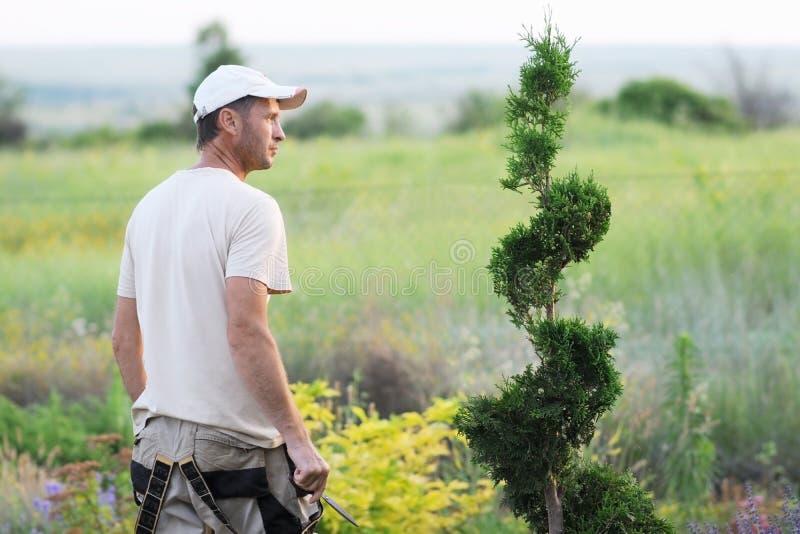 Un jardinier formant un arbre conifére avec le secateur image libre de droits