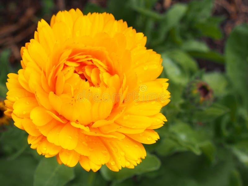 Un jaune fleurit image libre de droits