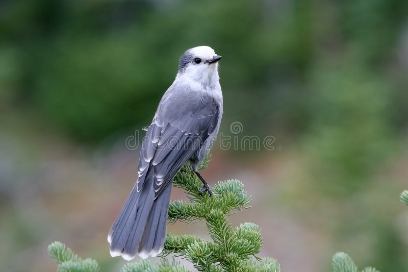 Un jay grigio fotografia stock
