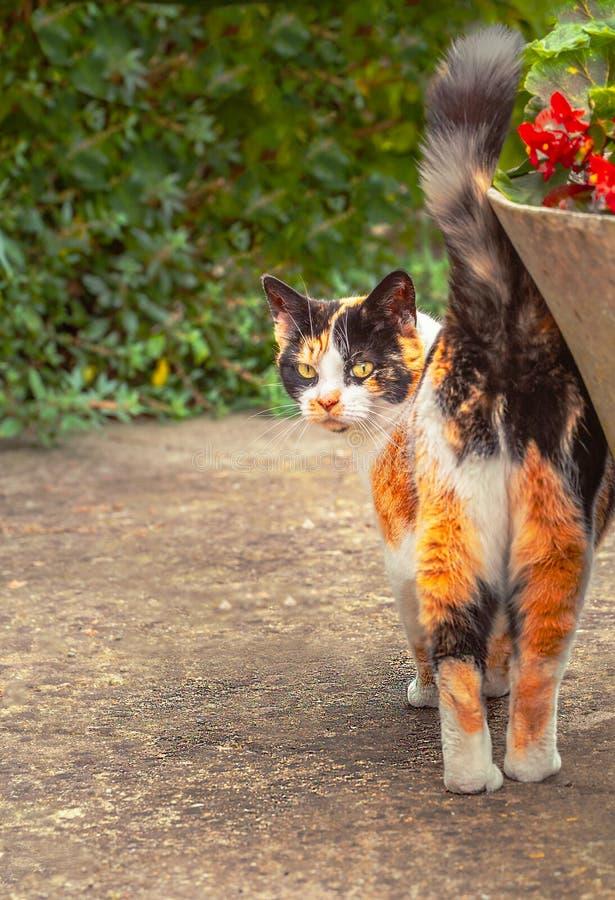 Un jengibre, gato de gato atigrado blanco y negro da vuelta para mirar la cámara Su cola está para arriba mientras que ella se fr fotos de archivo